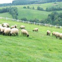 癒しのコルギサロン_牧場羊